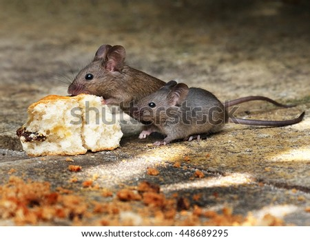 two mice feeding on scone in house garden.