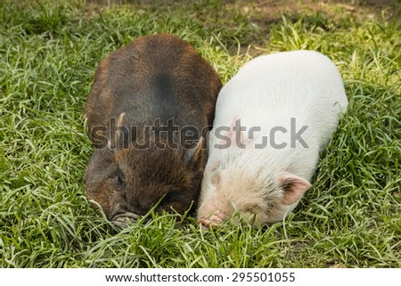 two miniature piglets resting in grass - stock photo