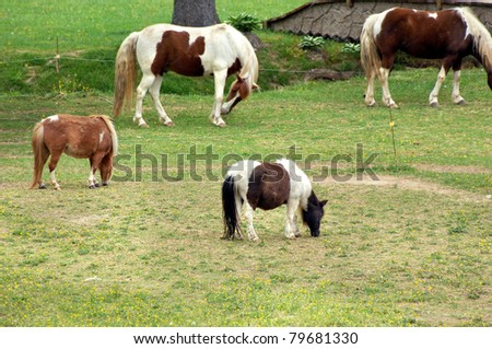 Two miniature ponies are fenced besides two full sized horses.  All are enjoying the fresh green grass of spring in western Tennessee. - stock photo