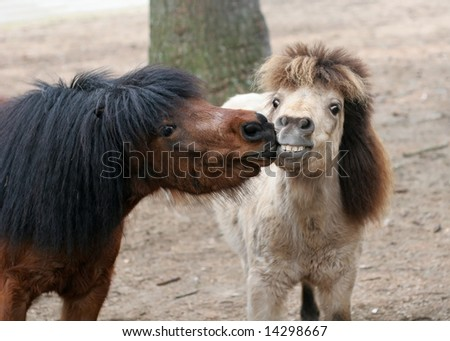 two miniature ponies nose-to-nose