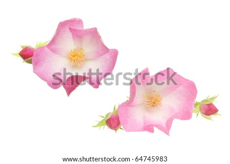 Two miniature roses and buds isolated on white - stock photo