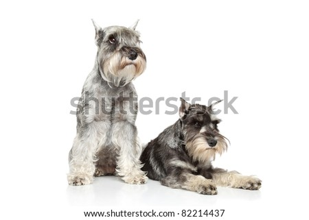Two Miniature schnauzer lying on a white background - stock photo