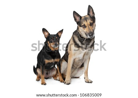 Two mixed breed dogs in front of a white background - stock photo
