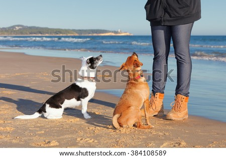 Two mixed mongrel dogs, short hair, receiving instructions from your caregiver and trainer on a beach. The black and white is a cross Border Collie and Jack Russell Terrier.  - stock photo