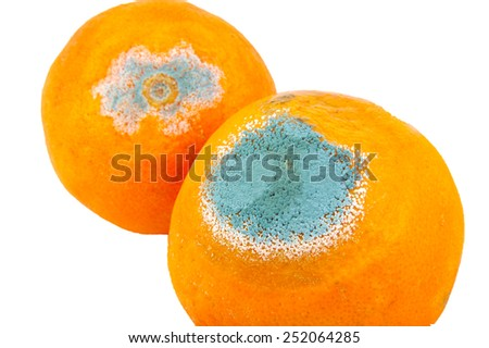 Two moldy and rotten oranges isolated on white background - stock photo