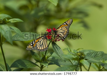 Two Monarch butterflies on red flower - stock photo