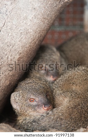 Two mongooses resting.