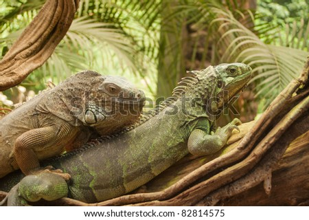 Two monitor lizards climbing on top of each other