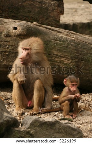 Two monkeys (Baboons) sitting and eating - stock photo