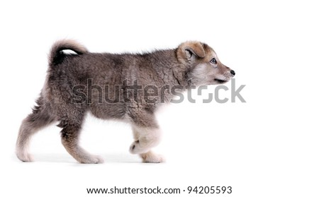 Two-month old alaskan malamute puppy in pointing stance - stock photo