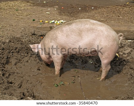 two month old piglet on mud - stock photo
