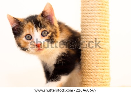 Two months old multicolored calico kitten looking by the scratch pole  - stock photo
