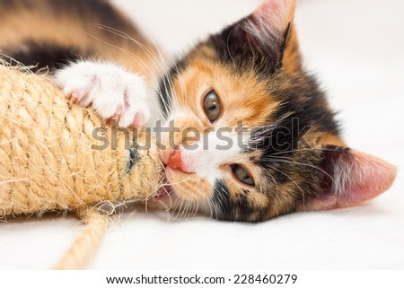 Two months old multicolored calico kitten playing with a toy - stock photo