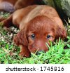 Two months old pure breed red irish setter puppy laying in the grass and looking cute - stock photo