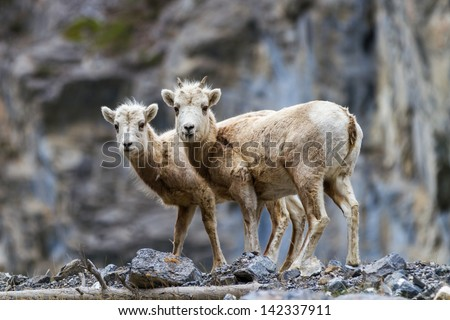 two mountain goat looking at camera in grassi lakes canmore alberta canada - stock photo