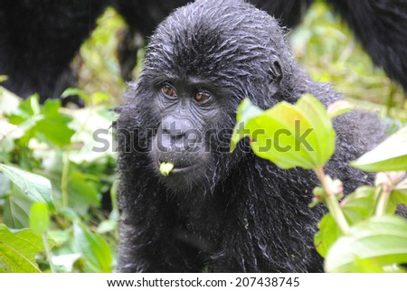two mountain gorillas standing,  in Bwindi impenetrable forest, Uganda - stock photo