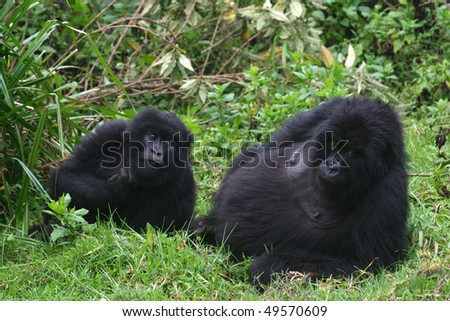 two mountain gorillas, virunga, rwanda - stock photo
