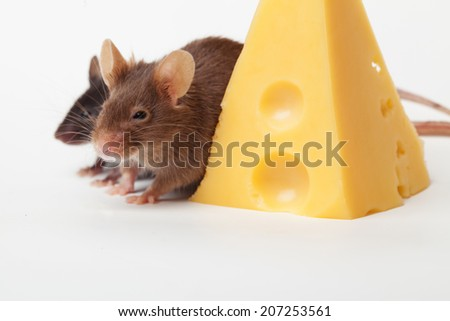 Two mouses with a slice of swees cheese