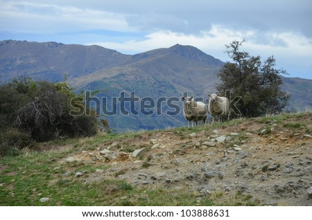 two Moutons in a hill - stock photo