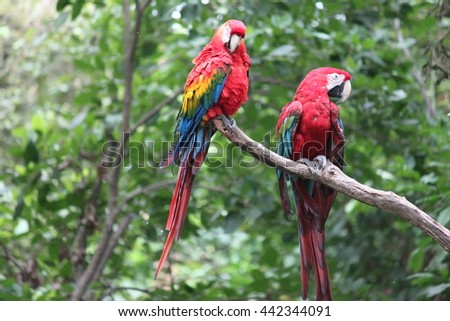 Two multi colored Macaw's on a branch