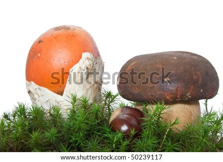 two mushrooms, Amanita Caesarea and Boletus edulis with chestnut on musk isolated on white background