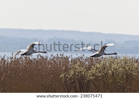 Two Mute Swans flying over the reeds at the lake - stock photo