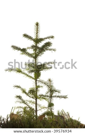 Two natural small Christmas fir tree(sapling) with a grass isolated on white. Fall. - stock photo