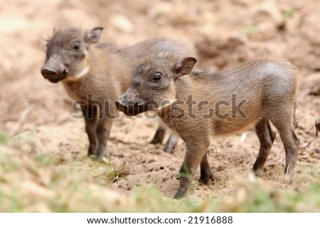Two nervous baby warthogs waiting for their mother