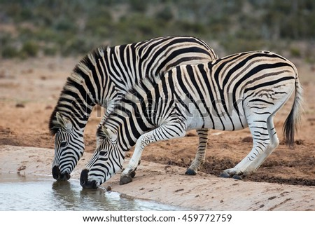 Two nervous plains zebras drinking from a waterhole