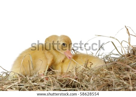 two nestlings in nest on white background