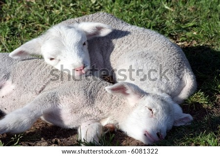 Two new born lambs sleeping together on the grass - stock photo