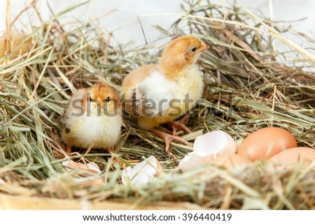 Two newborn baby chicks got off their shells - stock photo