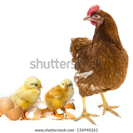 two newborn chickens and her mother hen - stock photo