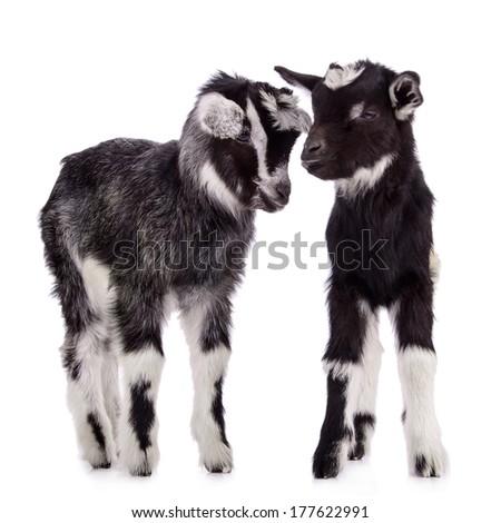 two newborn goats. farm animal. Isolated on white background - stock photo