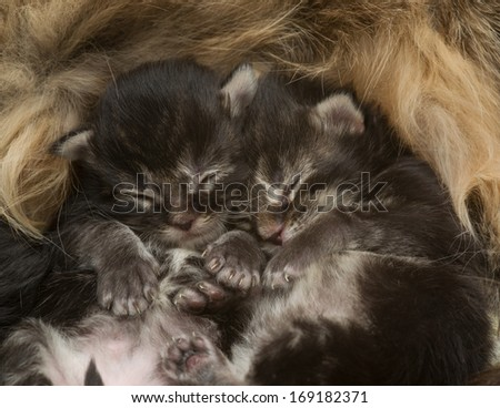 Two newborn kittens sleeping beside his mother - stock photo