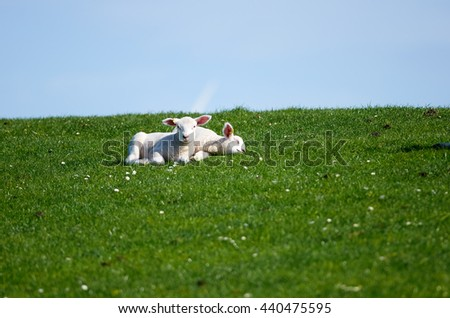 Two newborn lambs laying on the dike covered with green grass. - stock photo