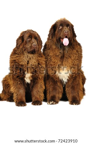 Two newfoundland dog in studio on a white background - stock photo