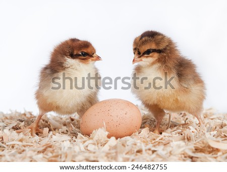 Two newly hatched chicks with an unhatched egg - stock photo