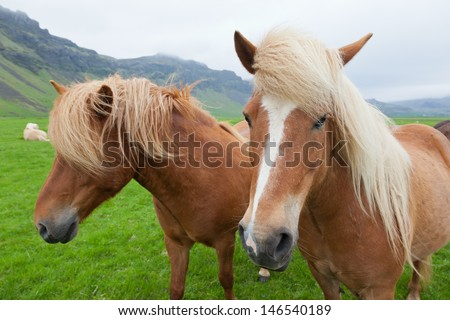 Two nice Icelandic horses with chestnut hair coat walking in a icelandic summer  countryside. - stock photo