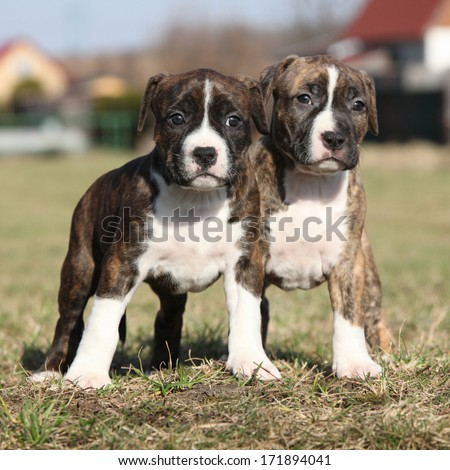 Two nice little puppies of American Staffordshire Terrier together in exterier
