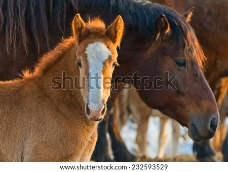 Two nice red horses at sunset. - stock photo