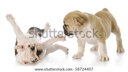 two nine week old english bulldog puppies playing with reflection on white background - stock photo