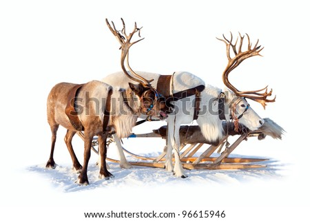 Two north deers are in harness on white background.