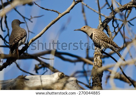 Two Northern Flickers Perched on a Branch in a Tree - stock photo
