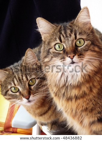 Two nosy cats are observing at the camera. - stock photo