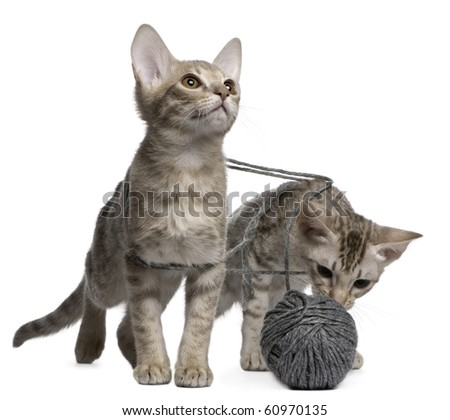 Two Ocicat Cats, 13 weeks old, playing with a ball of yarn - stock photo