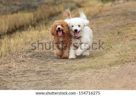 Two of  cute poodle dogs running on nature background - stock photo