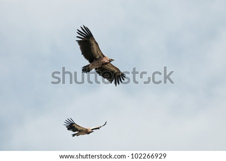 Two of Himalayan Griffon Vulture in sky - stock photo
