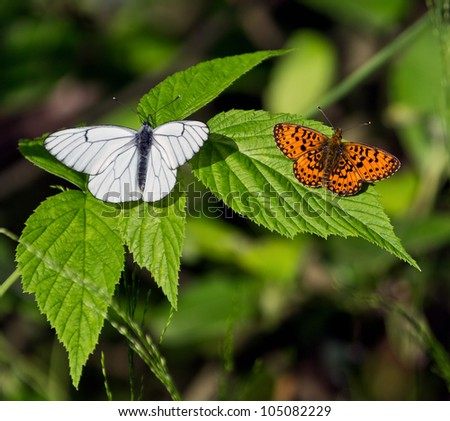 Two of the butterfly leaf raspberry - stock photo