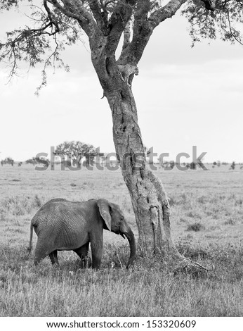 Two of the leopard on a tree watching the herd of elephants in Serengeti Nature Reserve in Tanzania, Africa (black and white) - stock photo